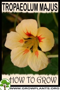 How to grow Tropaeolum majus