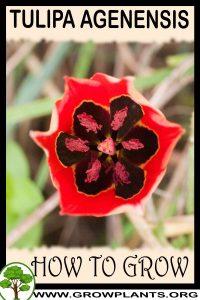 How to grow Tulipa agenensis