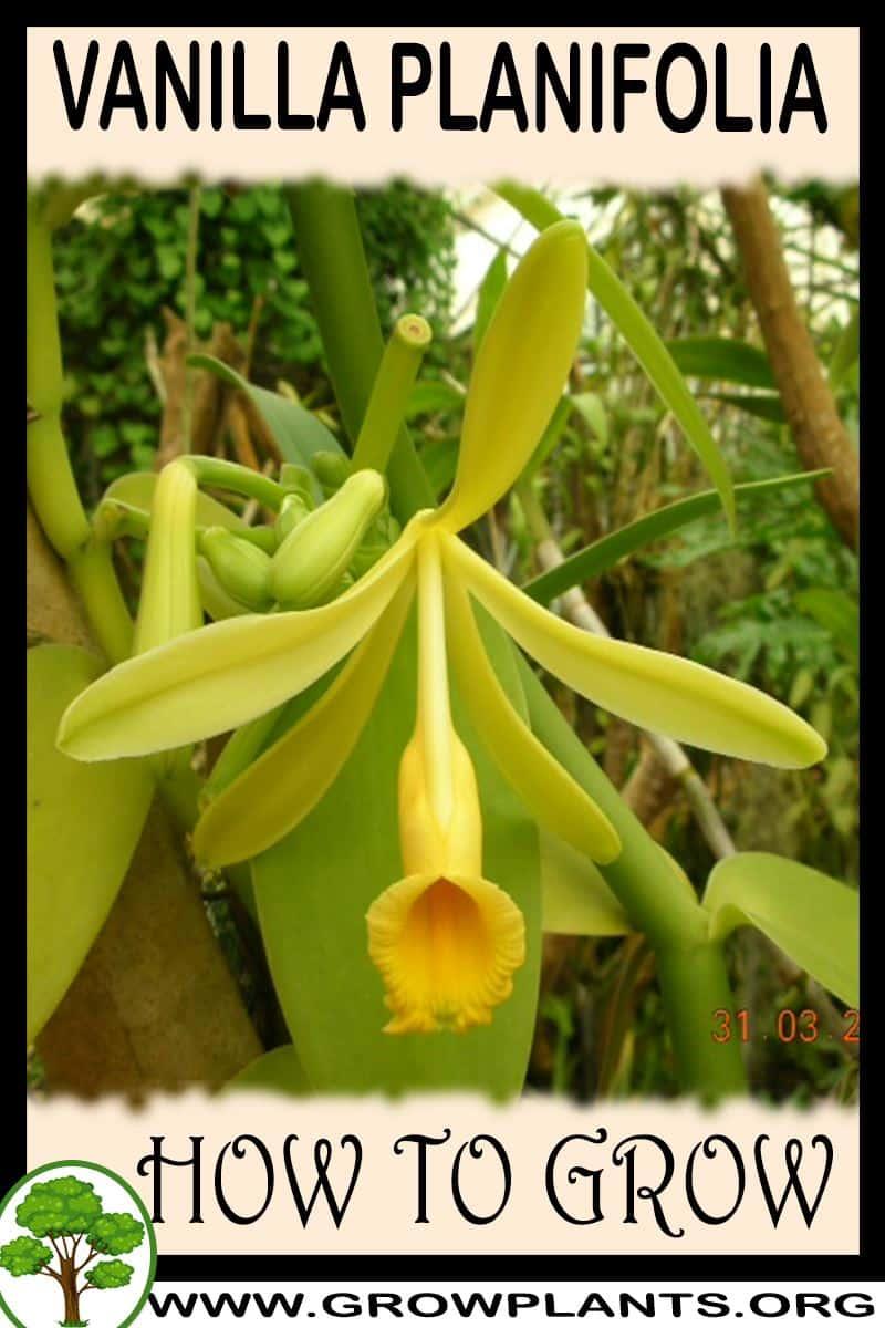 How to grow Vanilla planifolia