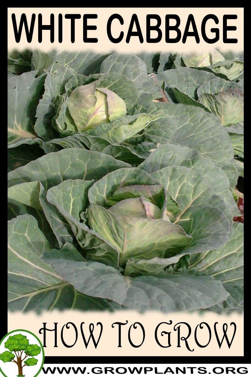 How to grow White cabbage