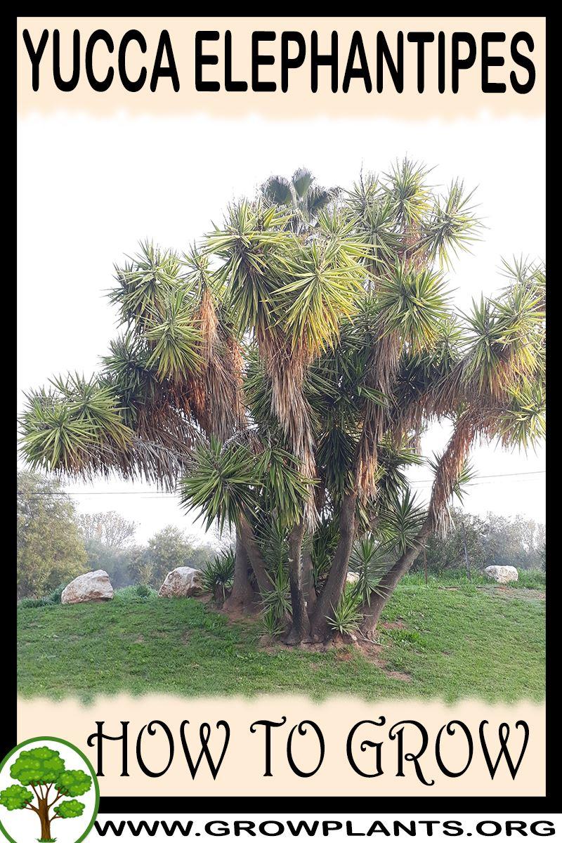 How to grow Yucca elephantipes