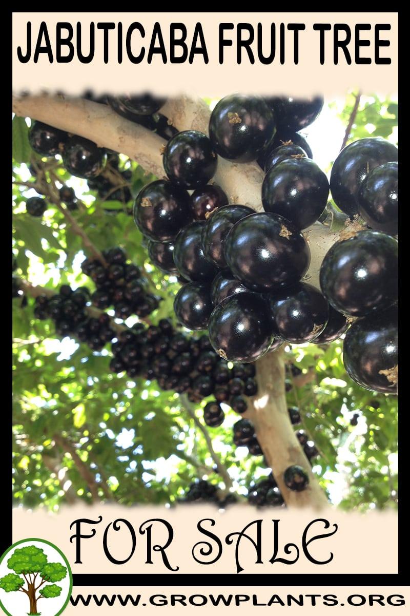 Jabuticaba fruit tree for sale