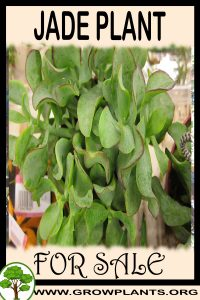 Jade plant for sale