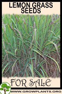 Lemon grass seeds for sale