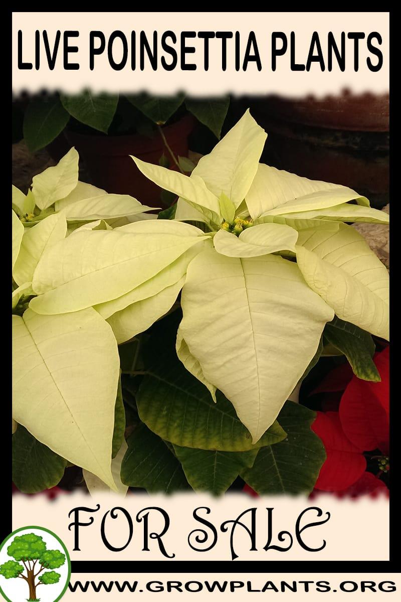 Live poinsettia plants for sale