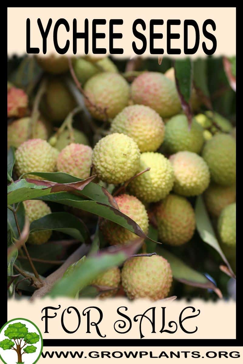 Lychee seeds for sale