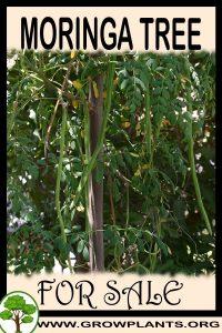 Moringa tree for sale