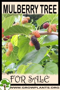 Mulberry tree for sale