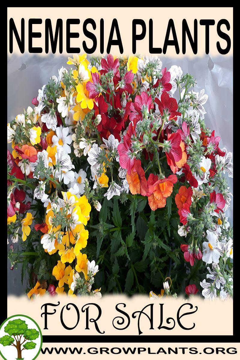 Nemesia plants for sale