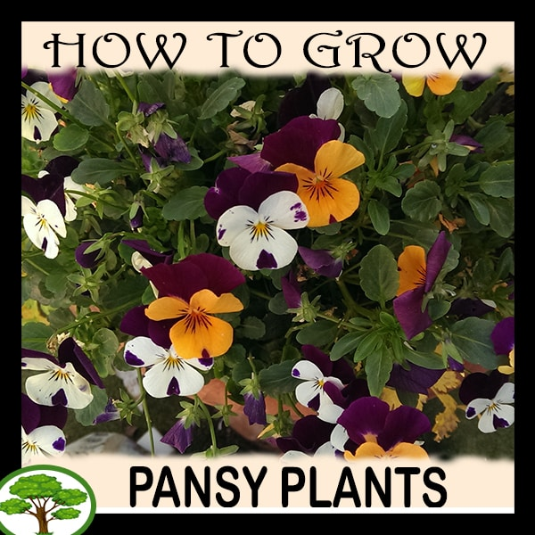 Pansy plants - all need to know