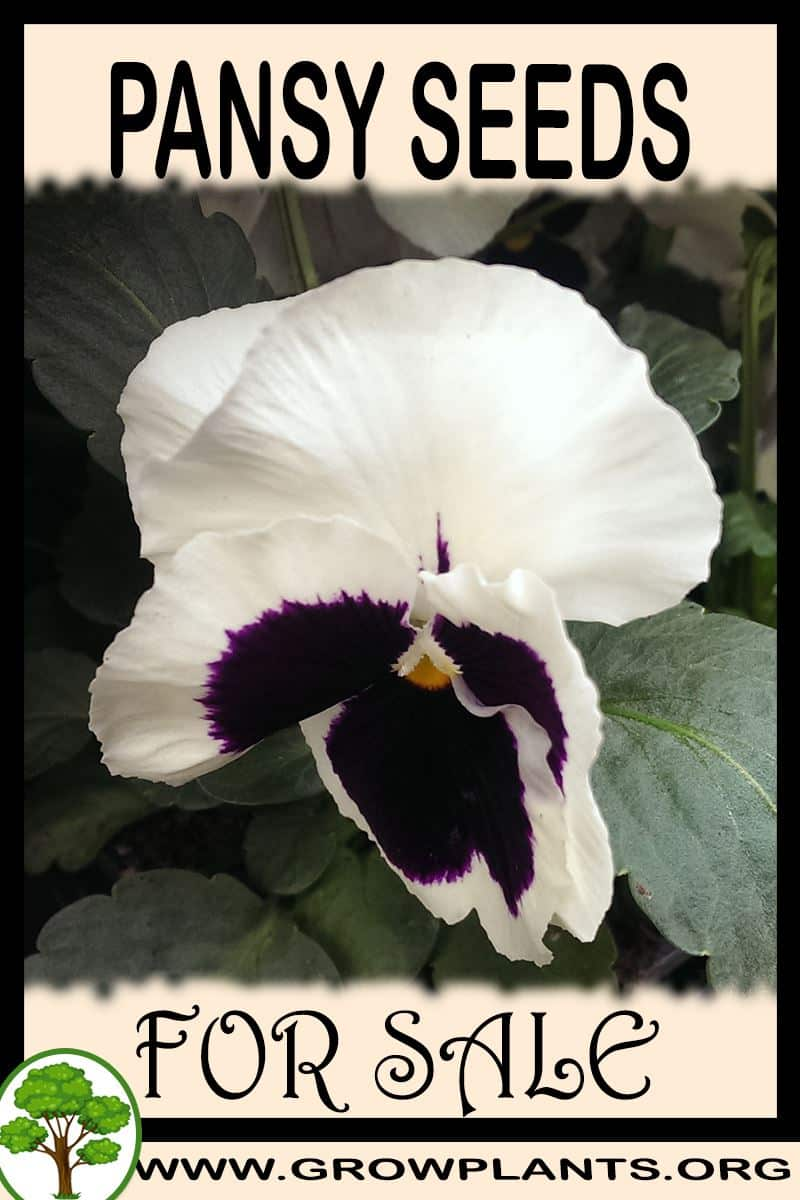 Pansy seeds for sale