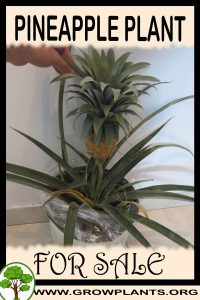 Pineapple plant for sale