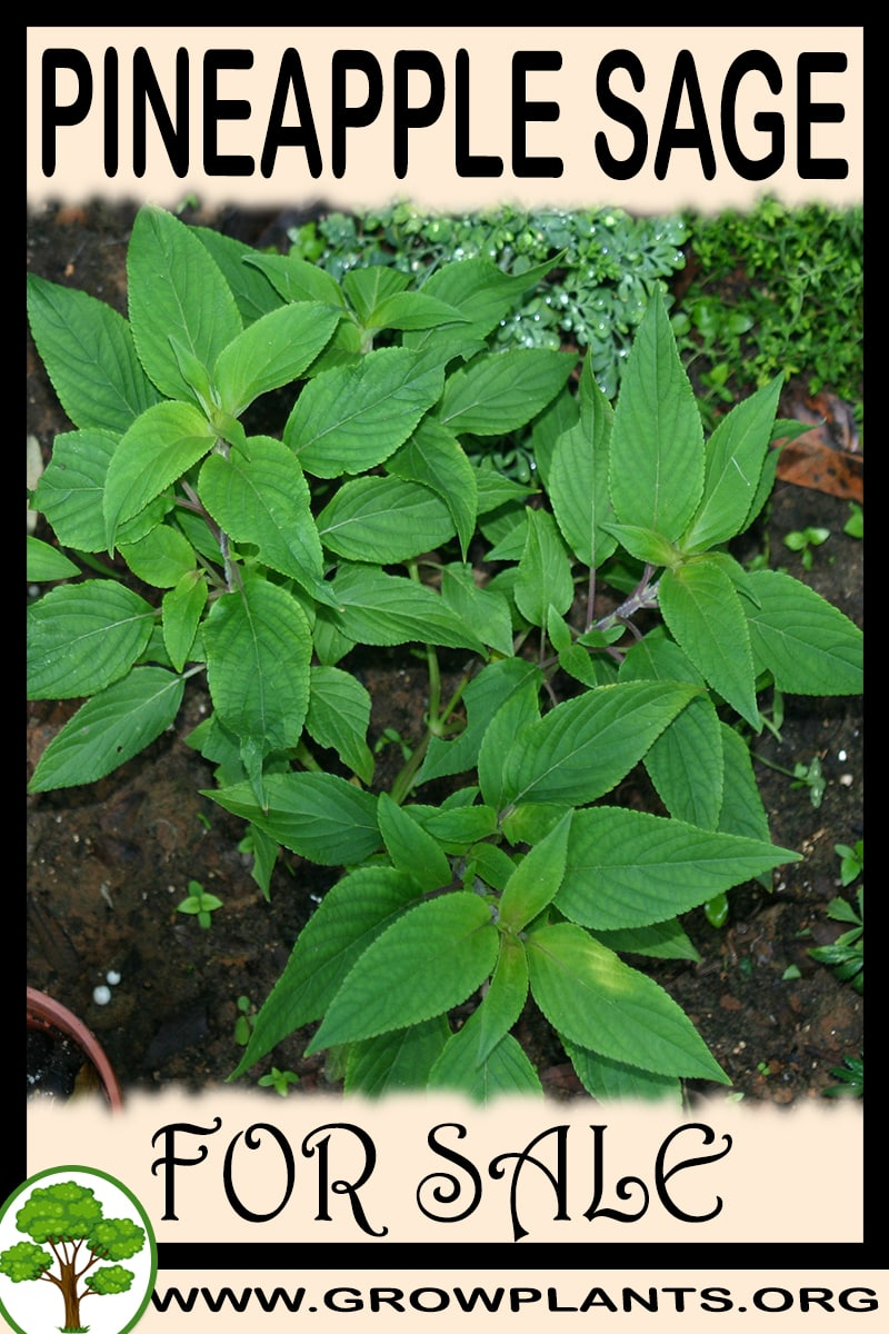 Pineapple sage for sale