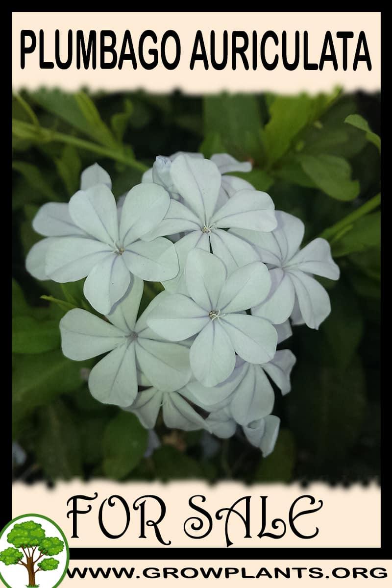 Plumbago auriculata for sale