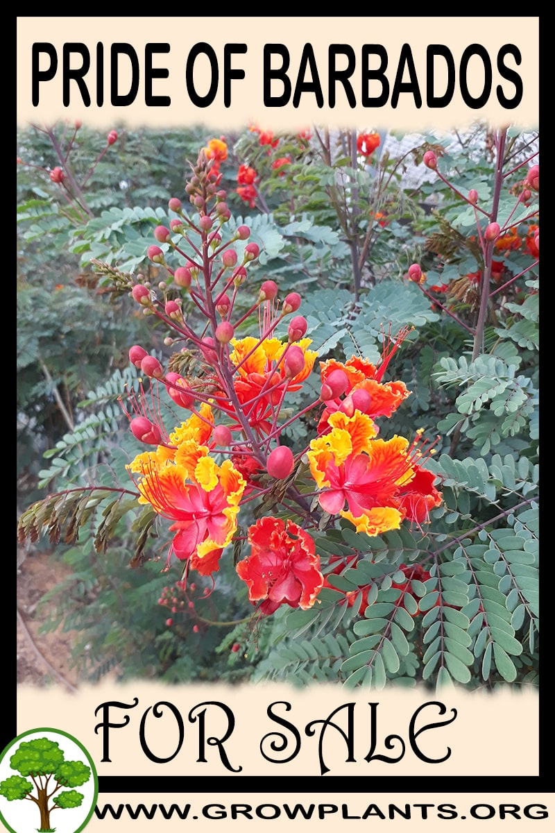 Pride of barbados for sale