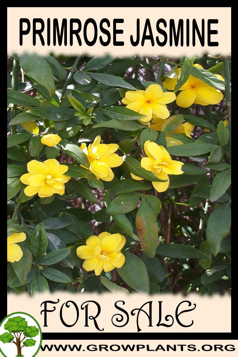 Primrose jasmine for sale