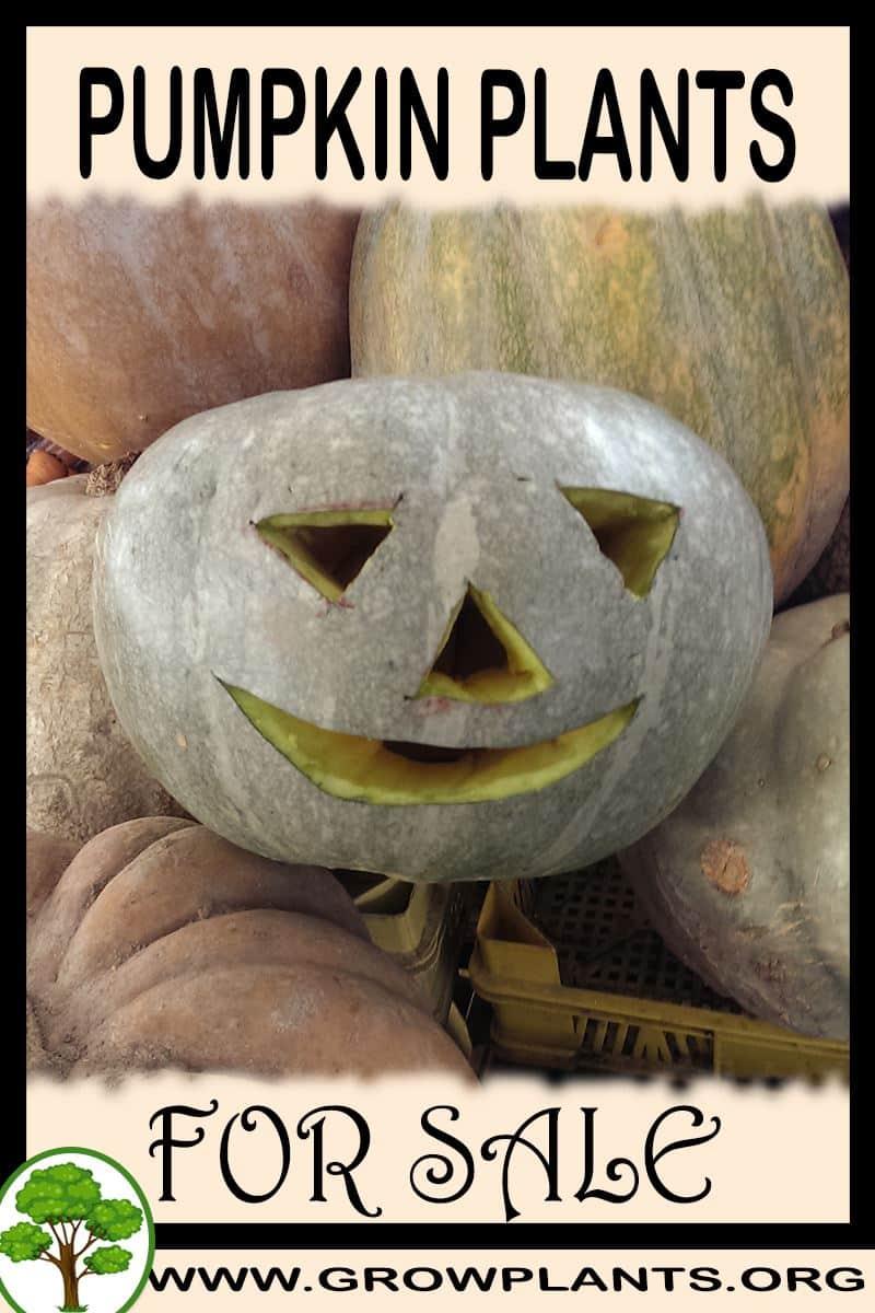 Pumpkin plants for sale
