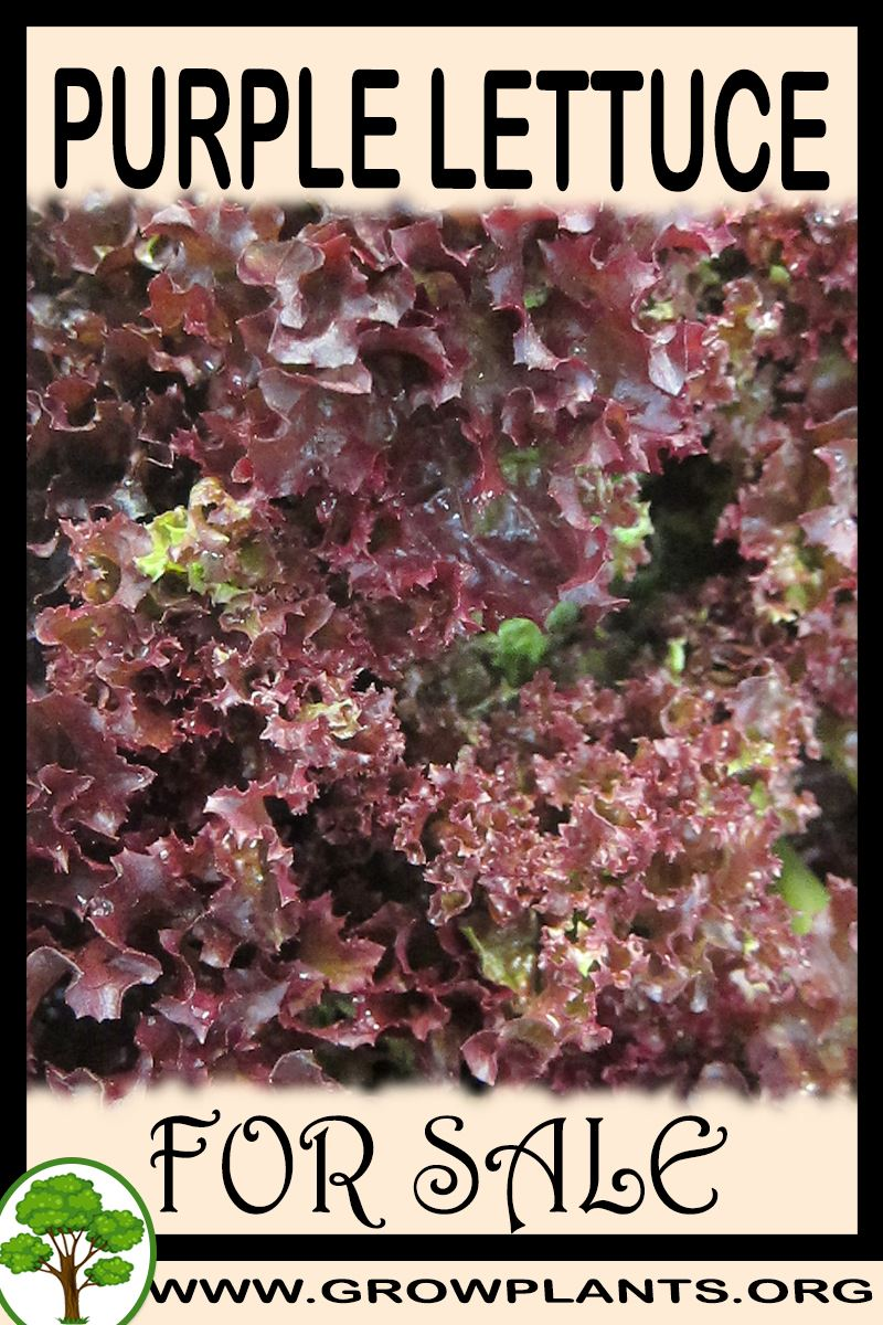 Purple lettuce for sale