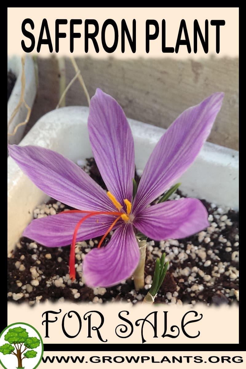 Saffron plant for sale