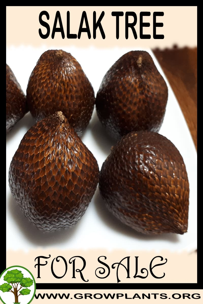 Salak for sale