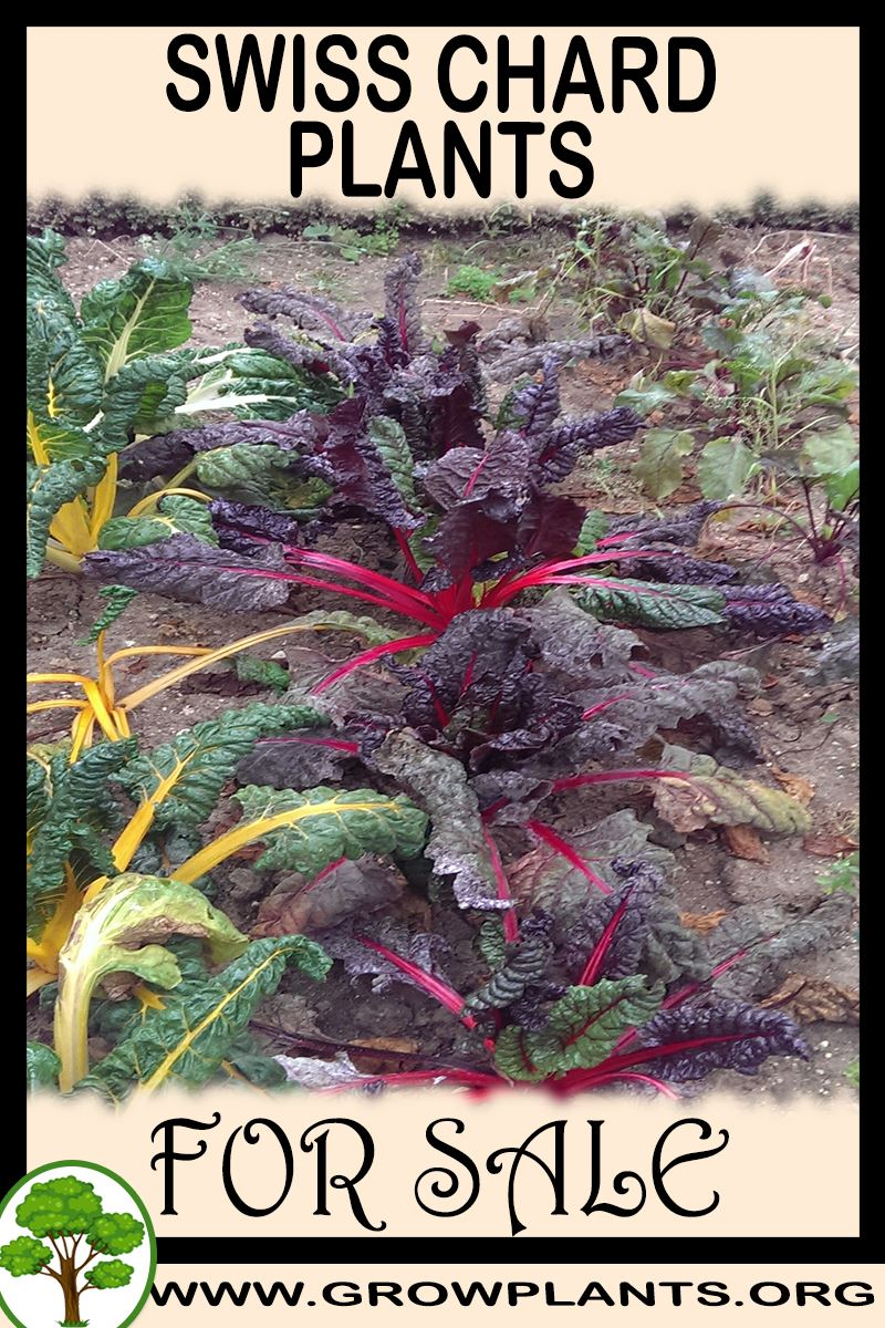 Swiss chard plants for sale