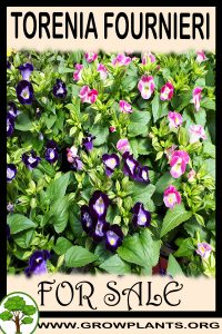 Torenia fournieri for sale