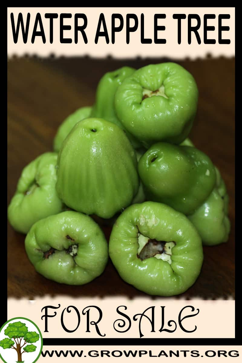 Water apple tree for sale