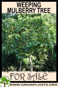 Weeping mulberry tree for sale