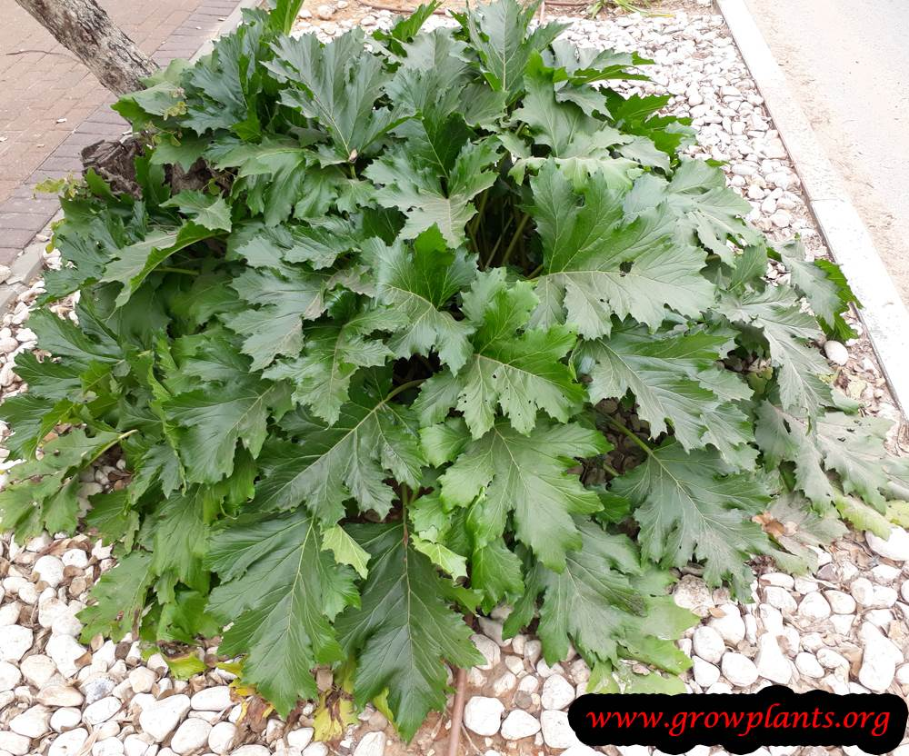 Acanthus mollis grow and care