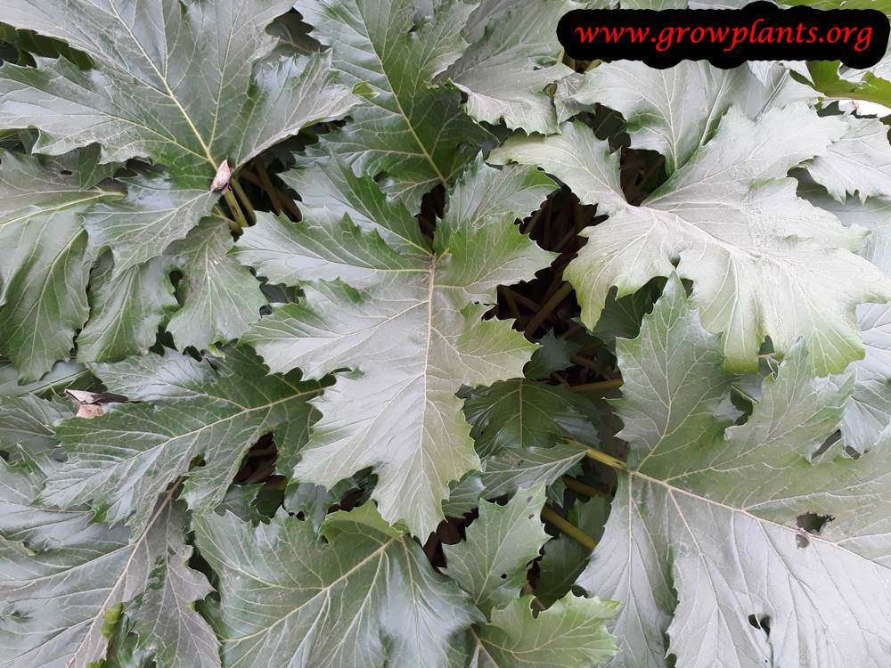 Acanthus mollis grow condition