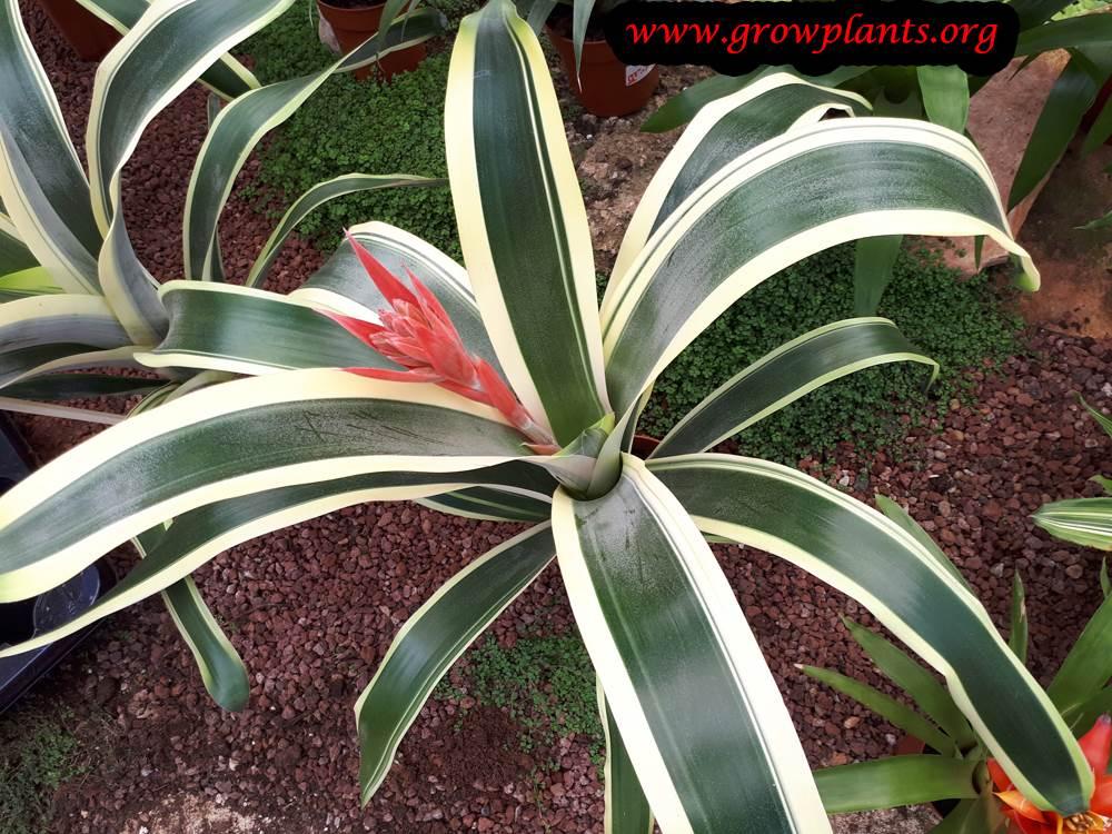 Aechmea fasciata variegata