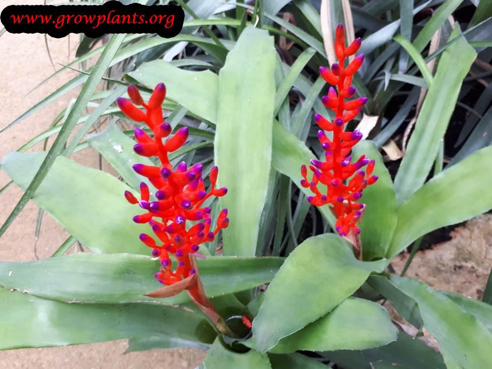 Aechmea fulgens flowers