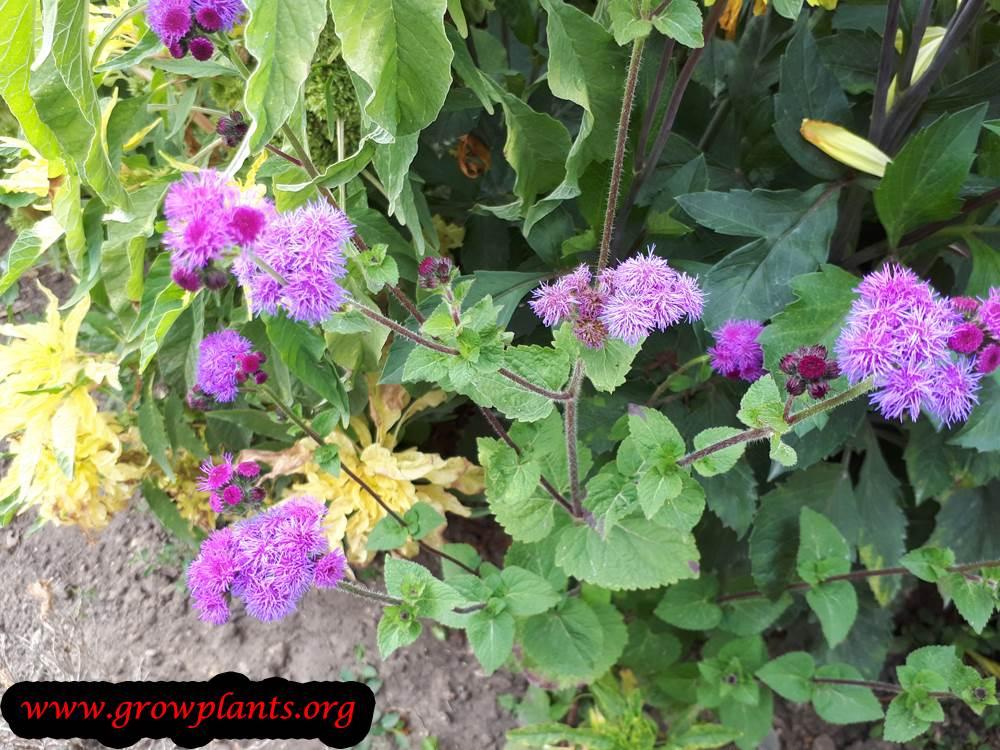 Ageratum houstonianum plant care