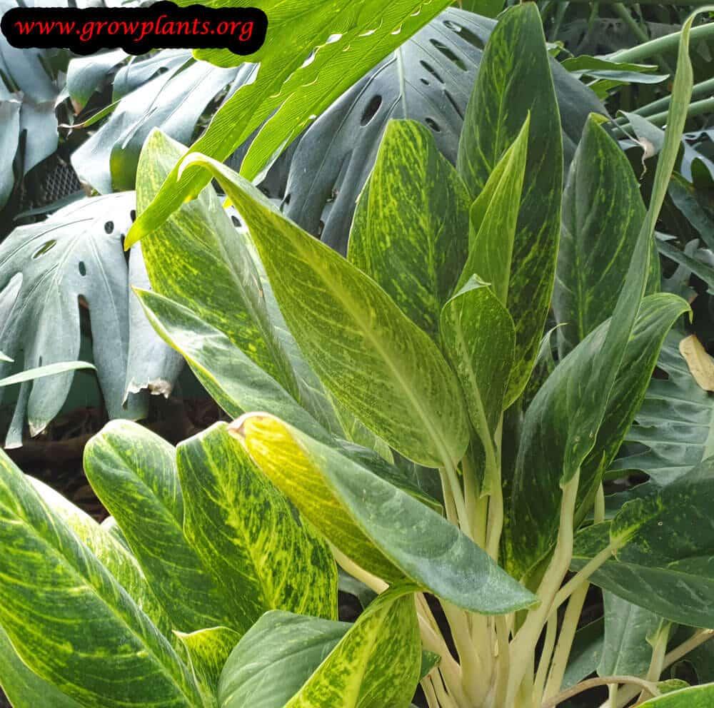Aglaonema costatum plant