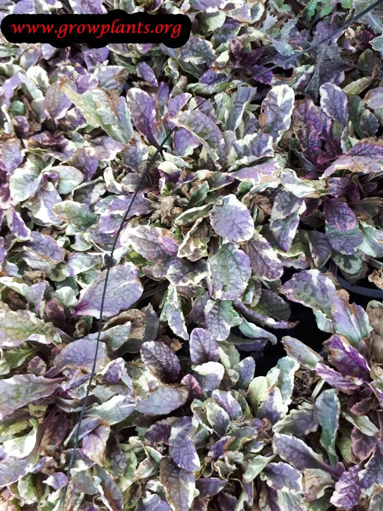 Ajuga Burgundy glow plant care