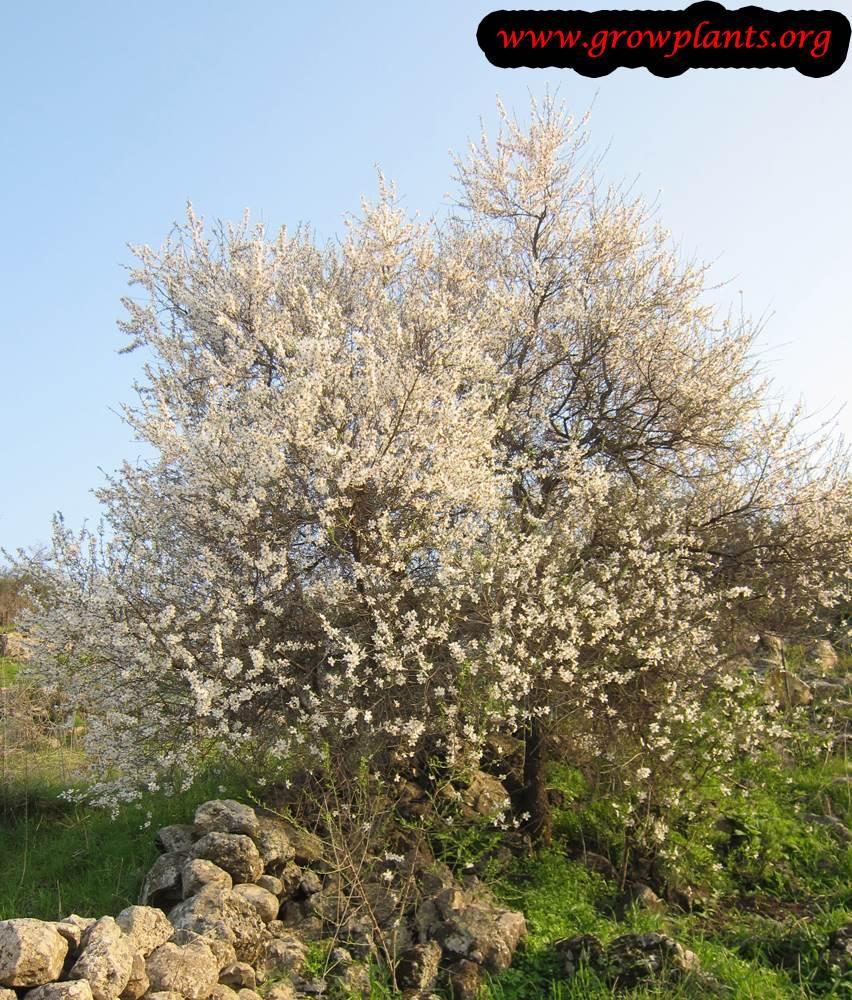Growing Almond tree