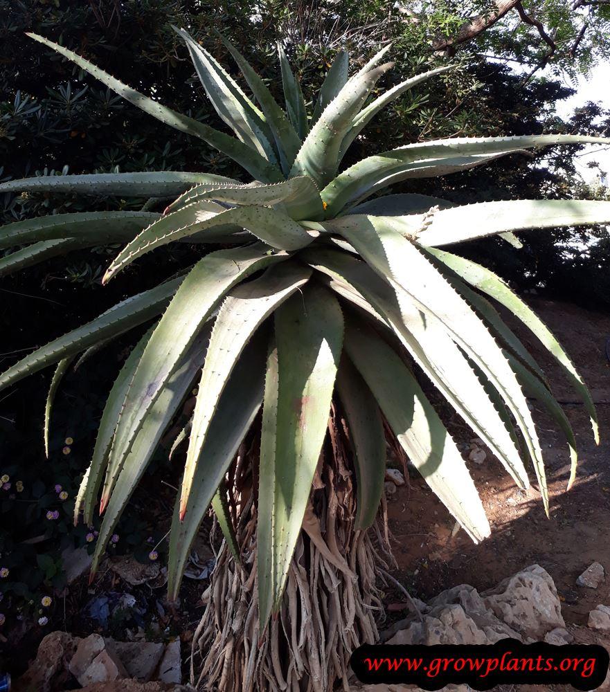 Aloe tree plant