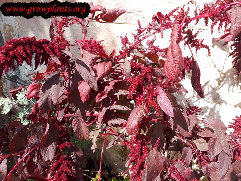 Amaranthus Cruentus plant care