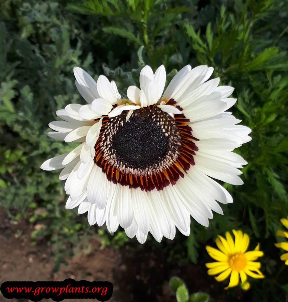 Arctotis fastuosa flower