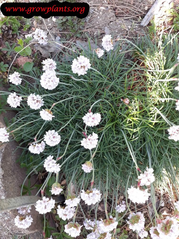 Armeria maritima plant care
