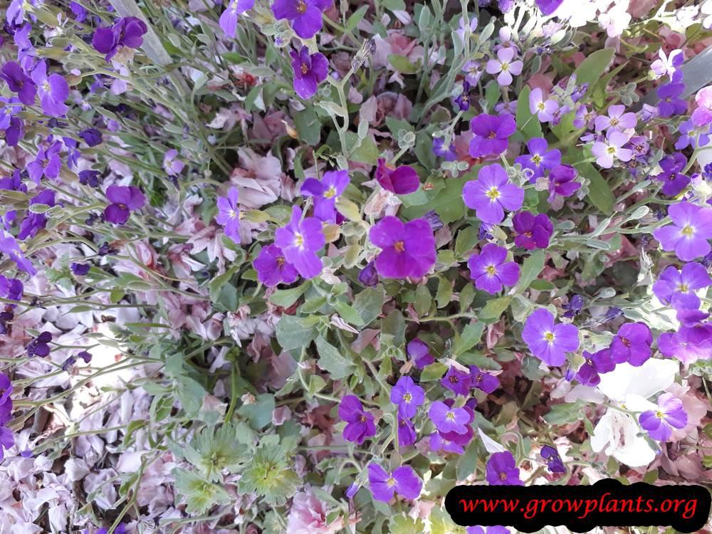 Aubrieta plant flowers