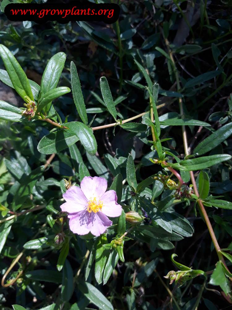 Aubrieta canescens flower