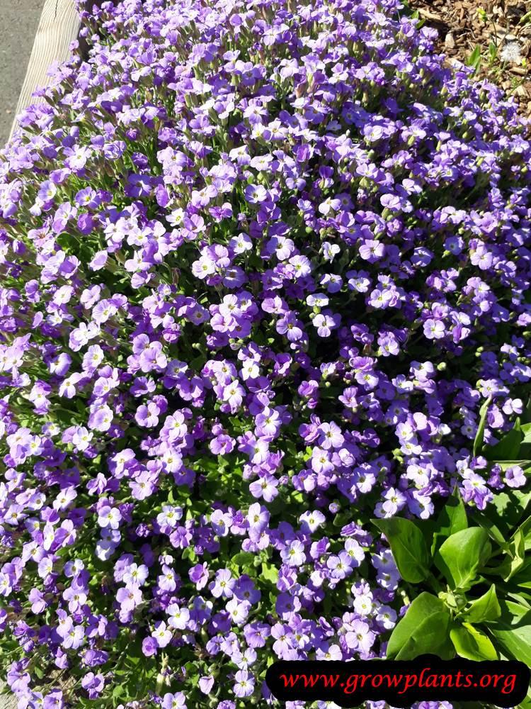 Aubrieta deltoidea flowers