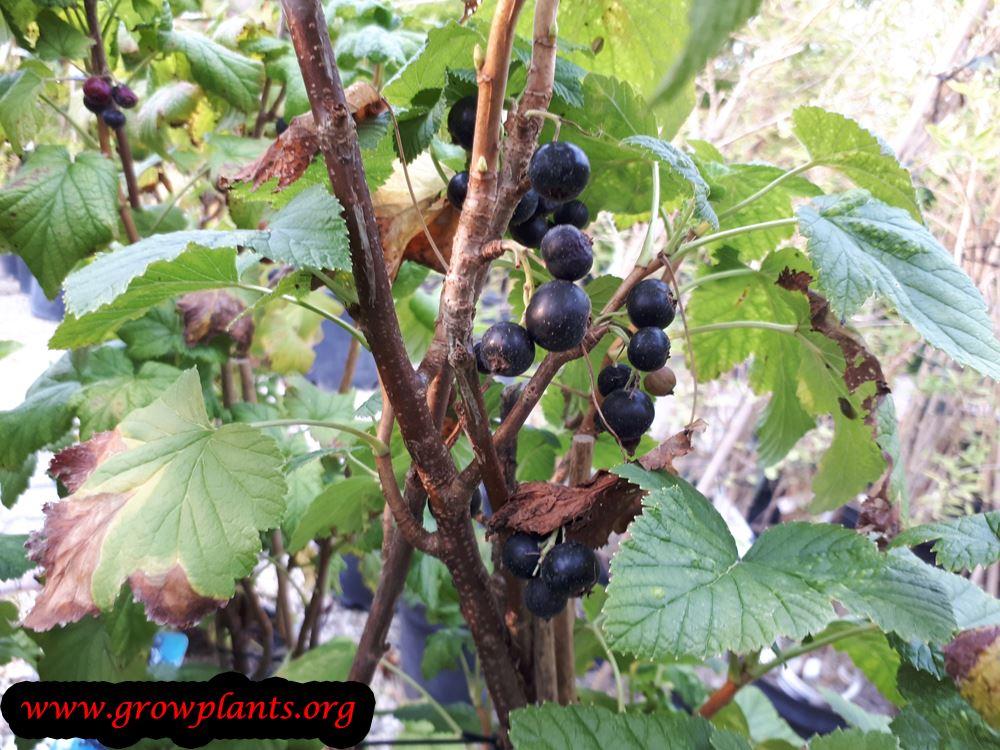 Black currant fruit season