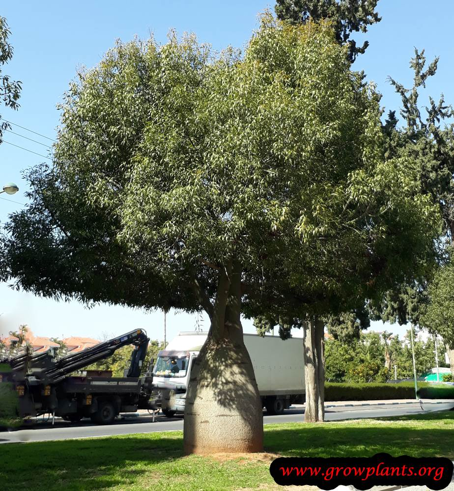 Brachychiton rupestris tree care