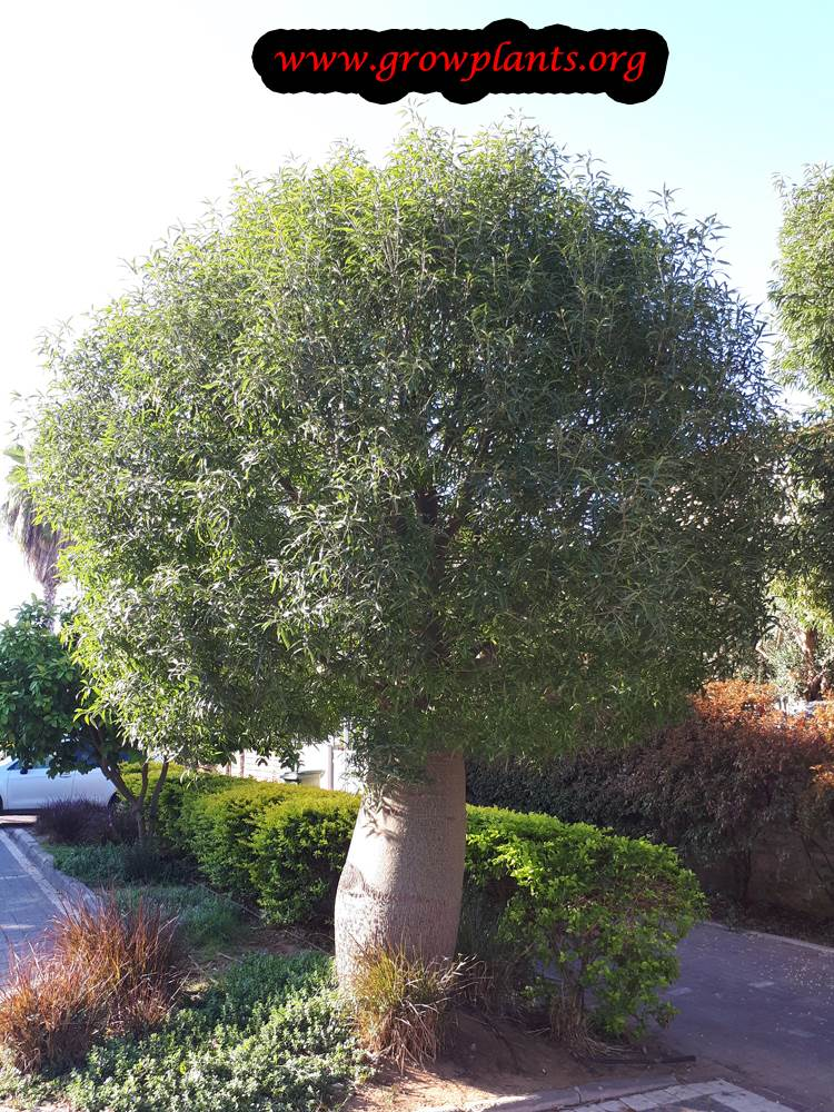 Growing Brachychiton rupestris tree