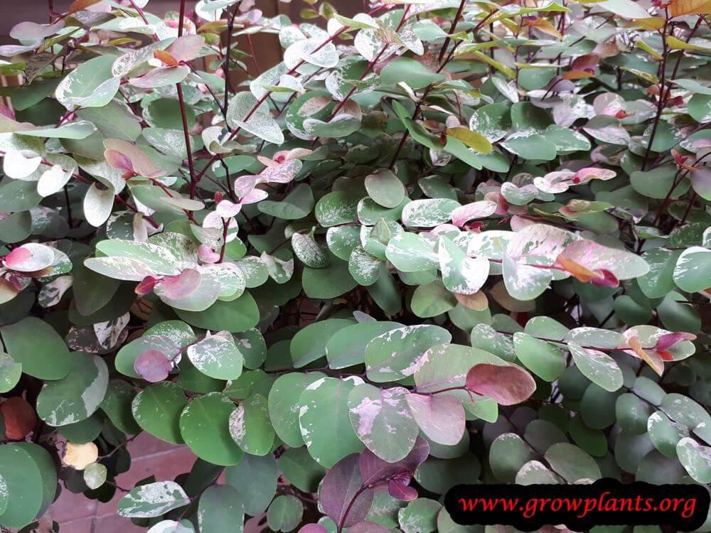 Breynia disticha Roseo picta plant