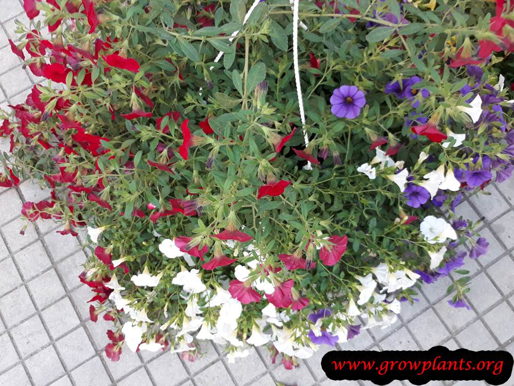 Calibrachoa planting season