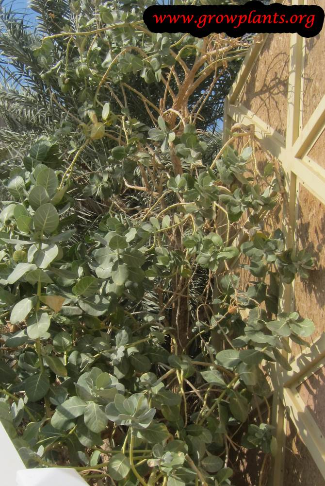 Growing Calotropis procera plant