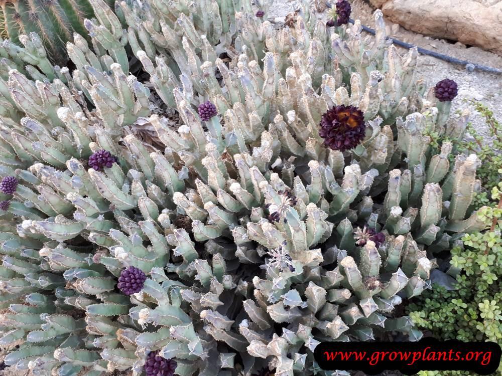 Growing Caralluma speciosa